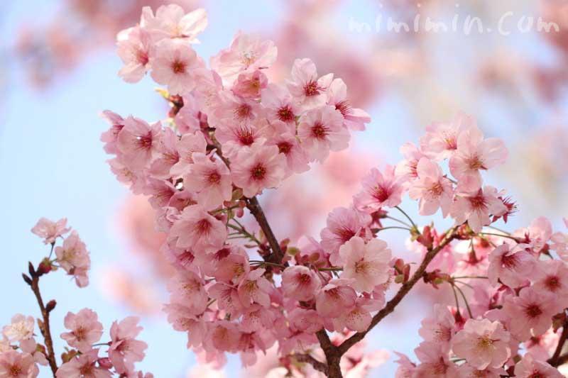 陽光桜の写真と花言葉(六本木ヒルズ 毛利庭園の桜)の画像