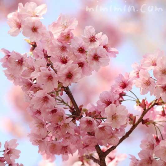 陽光桜(ヨウコウザクラ)の花の写真(六本木ヒルズ 毛利庭園の桜)の画像