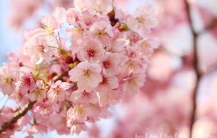 陽光桜の写真 花言葉(六本木ヒルズ 毛利庭園の桜)