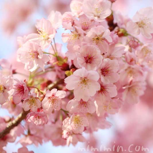 陽光桜の花の写真(六本木ヒルズ 毛利庭園の桜)の画像