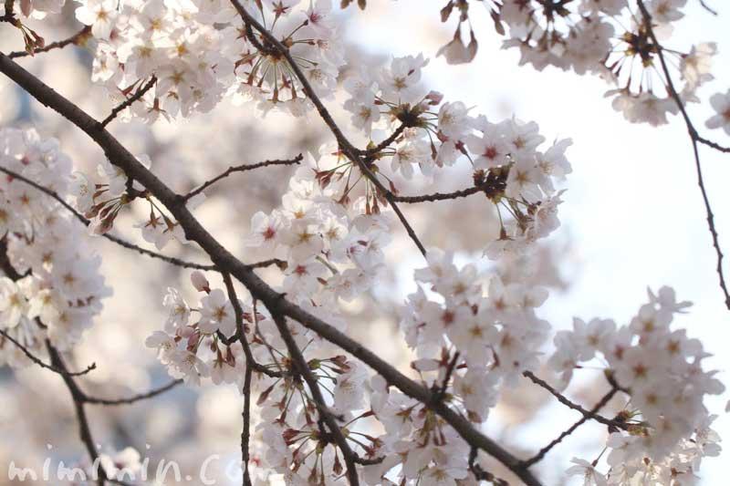 六本木ヒルズ 毛利庭園の桜の花|ソメイヨシノの画像