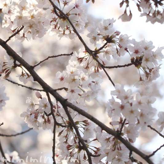 六本木ヒルズの桜の ソメイヨシノの写真
