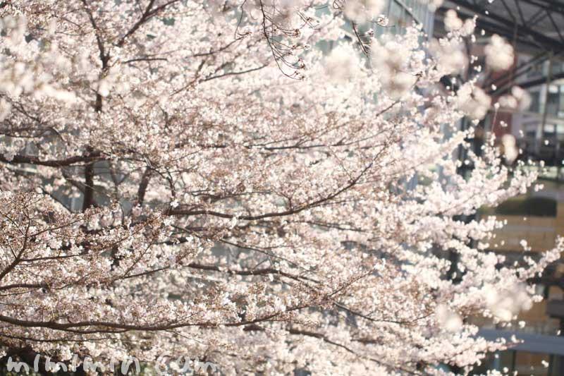六本木ヒルズ 毛利庭園の桜のソメイヨシノ