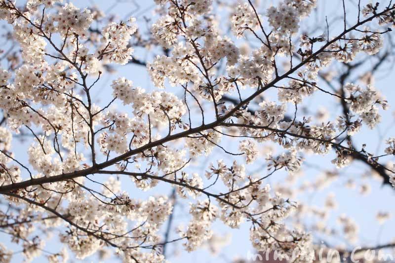 六本木ヒルズ 毛利庭園の桜|ソメイヨシノの画像