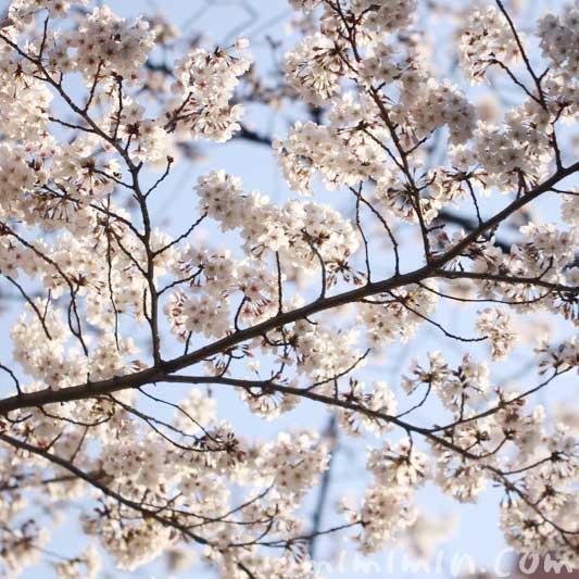 六本木ヒルズの桜の花の ソメイヨシノ