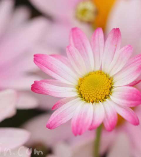 マーガレット|花の写真・花言葉・名前の由来と別名