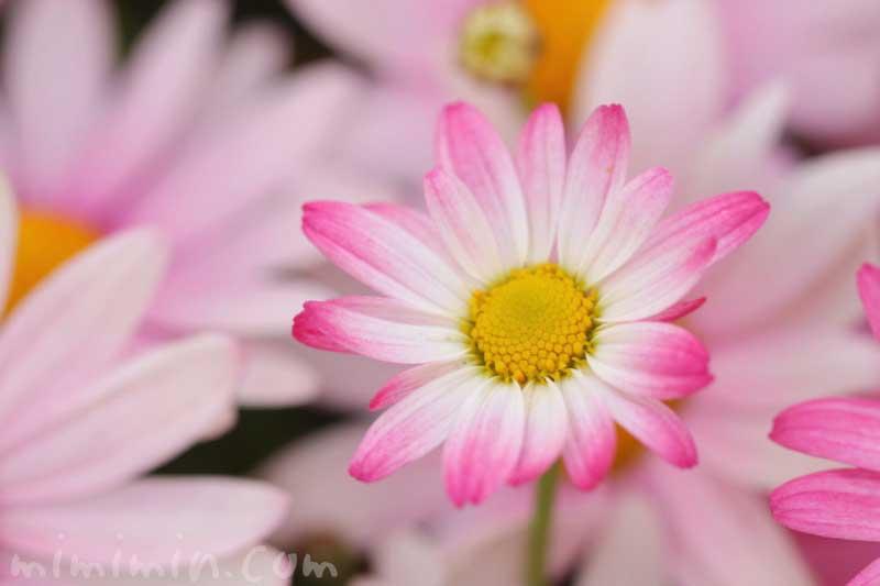 マーガレット(ピンク)|花の写真・花言葉・名前の由来と別名の画像