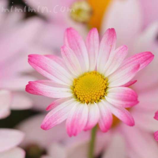 マーガレット(ピンク)の写真・花言葉・名前の由来と別名の画像