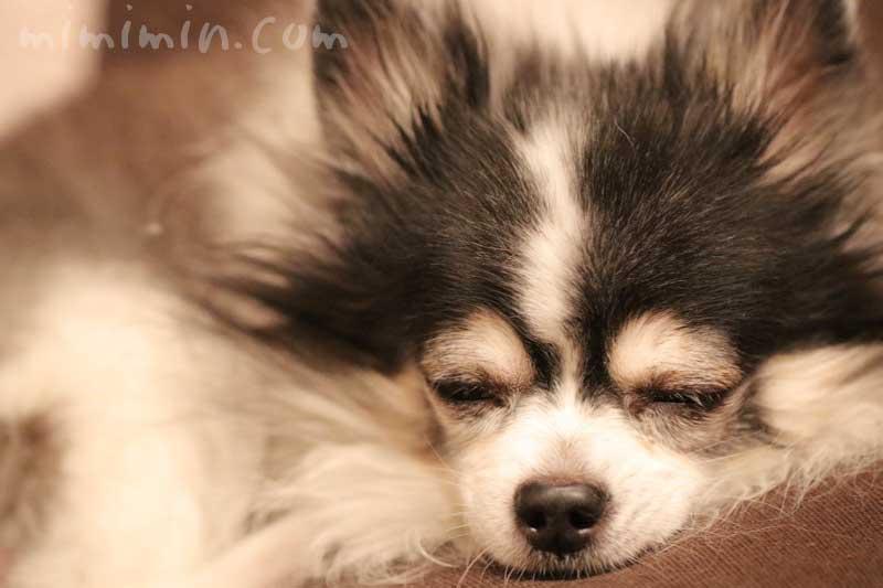 老犬が肺気腫で緊急入院の写真