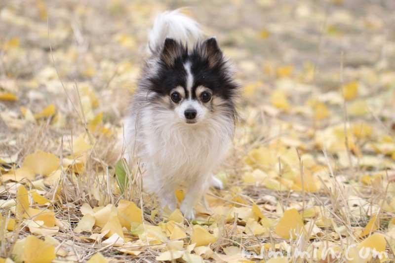 老犬(チワワ)の画像