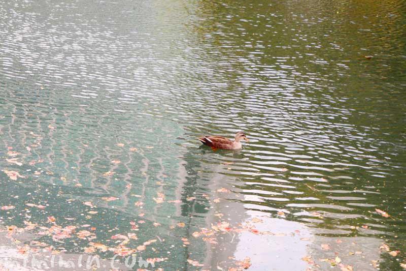 浜離宮恩賜庭園の鴨の画像