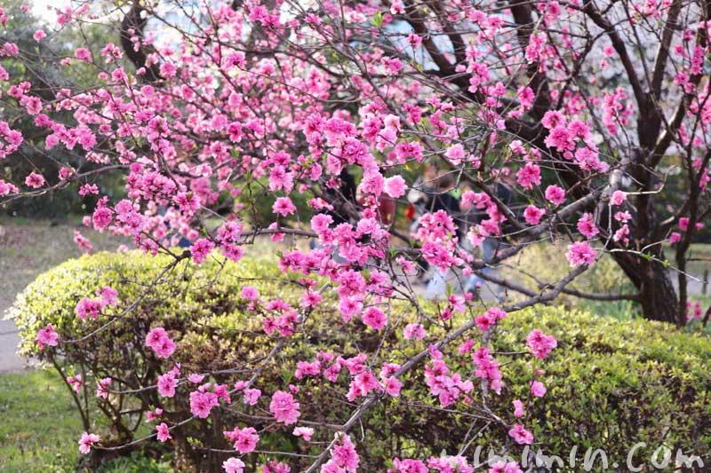 浜離宮恩賜庭園のお花見 桃の花の画像