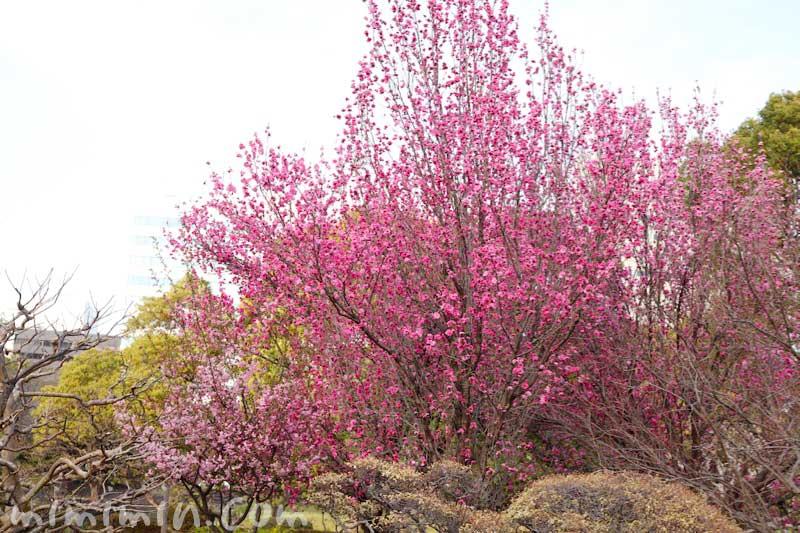 浜離宮恩賜庭園のお花見 桃