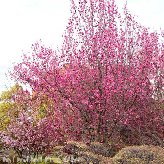 浜離宮恩賜庭園のお花見の桃の花