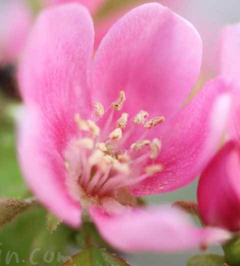 カリンの花の写真・花言葉