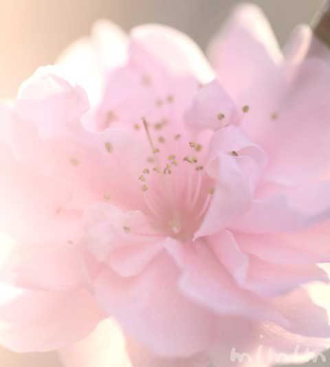 桃(ハナモモ)の花の写真・花言葉・桃の効能