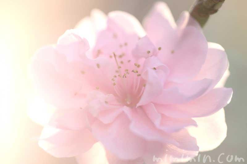 ハナモモの写真・花言葉・桃の効能の画像