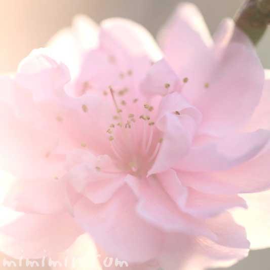桃の花の写真・花言葉・桃の効能の画像