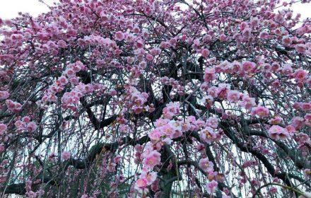 大倉山公園の梅林のしだれ梅の写真