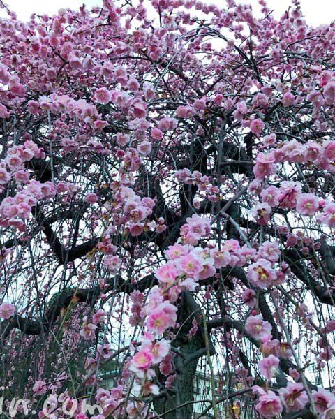 大倉山公園梅林のしだれ梅(3月に撮影)