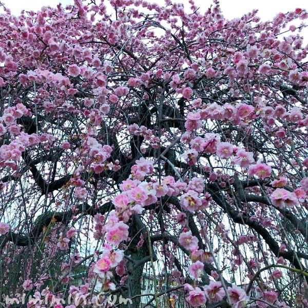 大倉山公園のしだれ梅の花の写真