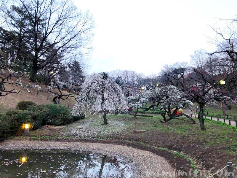 大倉山公園の梅の写真