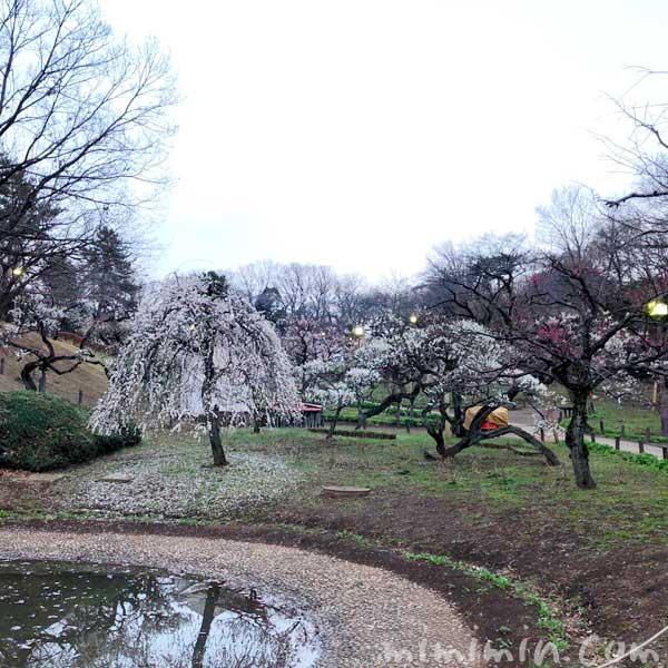 大倉山公園梅林の梅の花