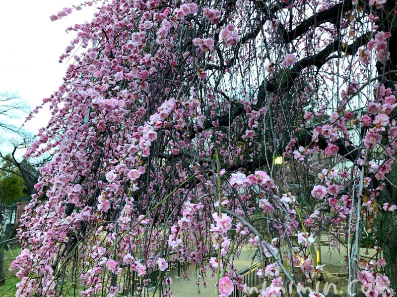 大倉山公園梅林のしだれ梅の画像