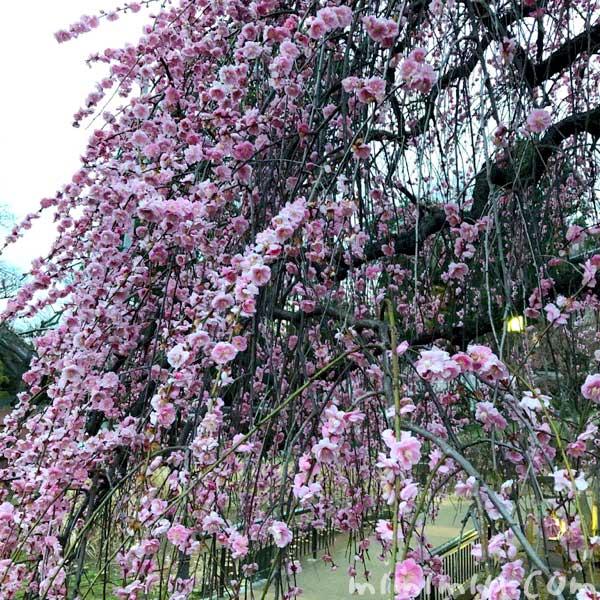 大倉山公園のしだれ梅の画像