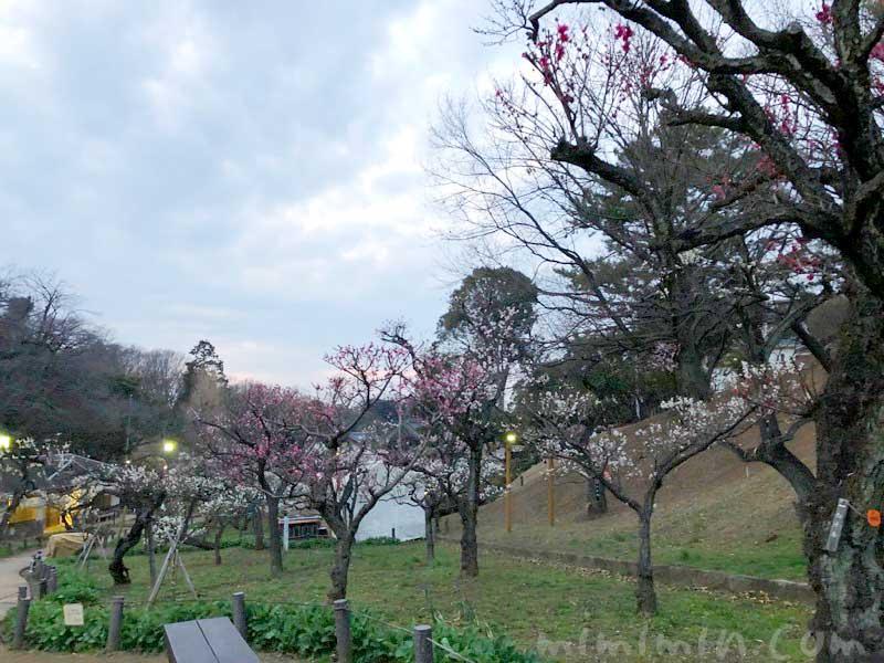 大倉山公園の梅の花の画像