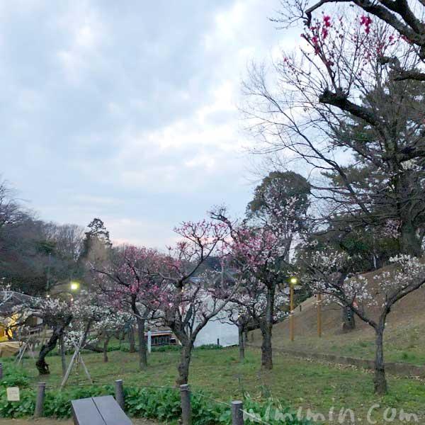 大倉山公園の梅林の梅