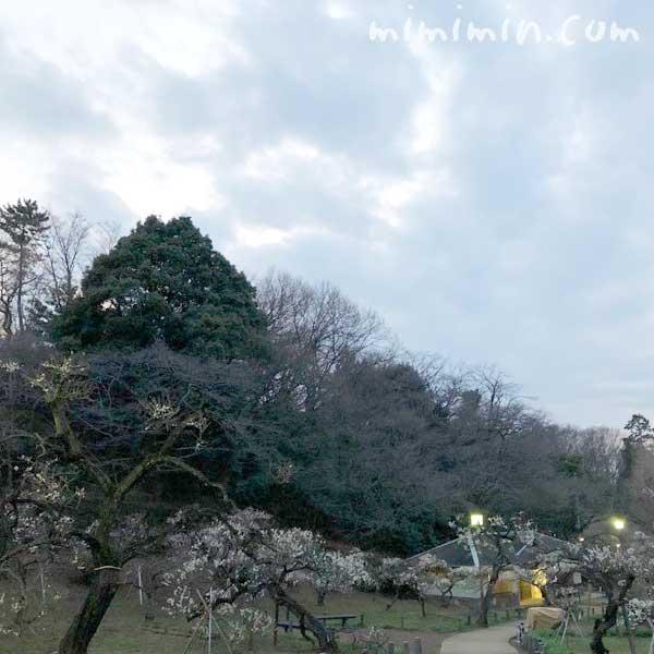 大倉山公園梅林の梅の画像