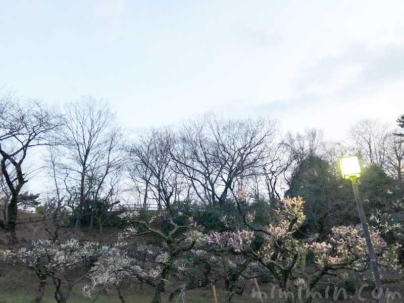大倉山公園梅林の画像