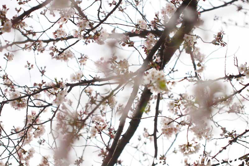 桜の花のお花見|染井吉野