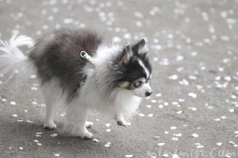 老犬チワワと桜の写真