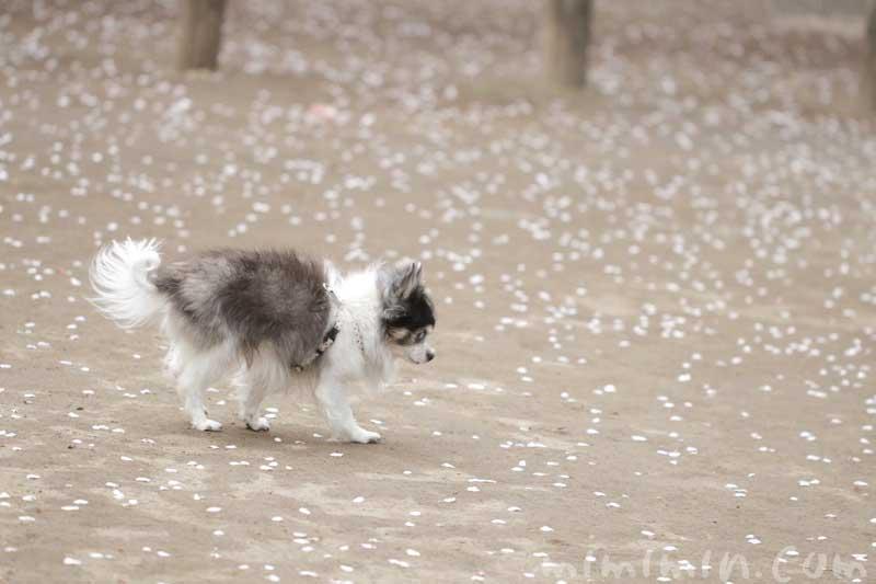 老犬(16歳)チワワと桜の写真