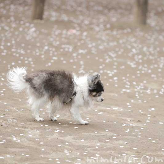 白黒チワワ||老犬と桜の花びら