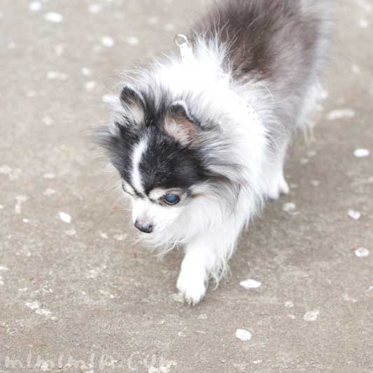 老犬(16歳)白黒チワワと桜の花びら