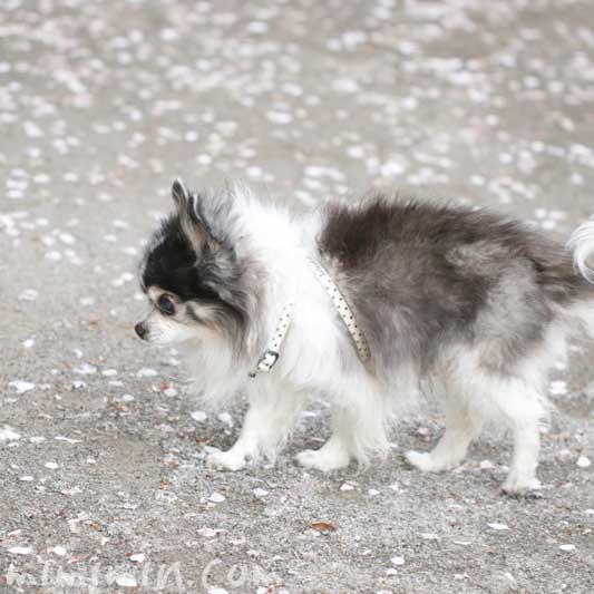 白黒チワワ|老犬(16歳)と桜の花びら