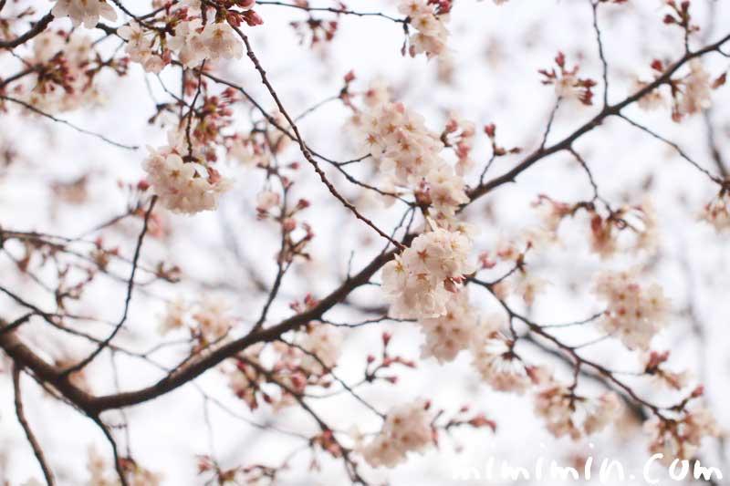 桜の花|染井吉野|お花見の画像