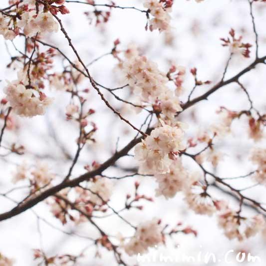 桜の写真|ソメイヨシノのお花見