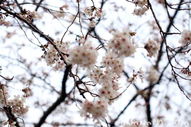 桜の花|ソメイヨシノ|お花見の写真