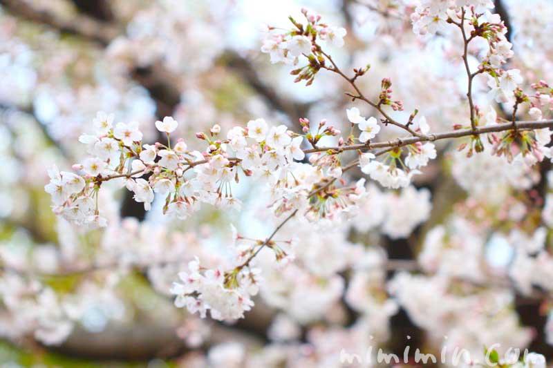 桜|ソメイヨシノ|お花見の画像
