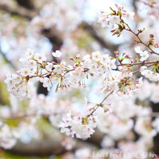 桜の写真|お花見|ソメイヨシノの画像