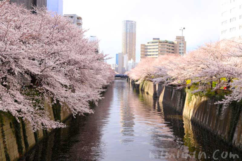 目黒川の桜(ソメイヨシノ)の花の写真 お花見 2019年の画像