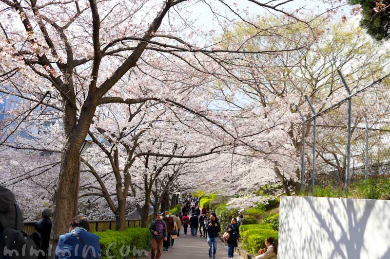 目黒川 桜(ソメイヨシノ)の花の写真 お花見 2019年