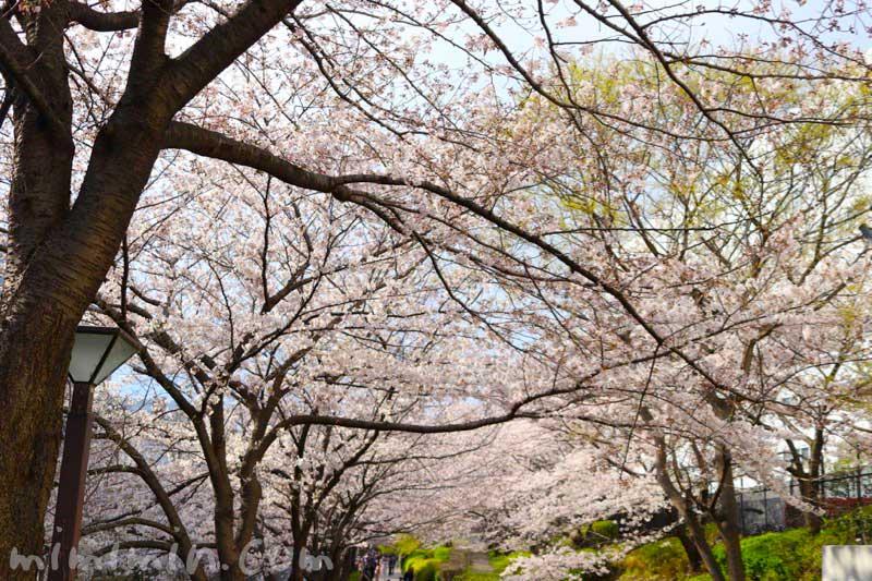 目黒川 桜(ソメイヨシノ)の花の写真 2019年の画像