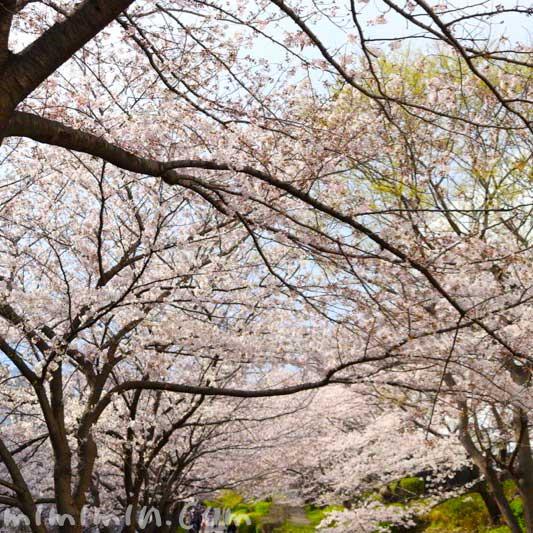 目黒川の桜 お花見 2019年