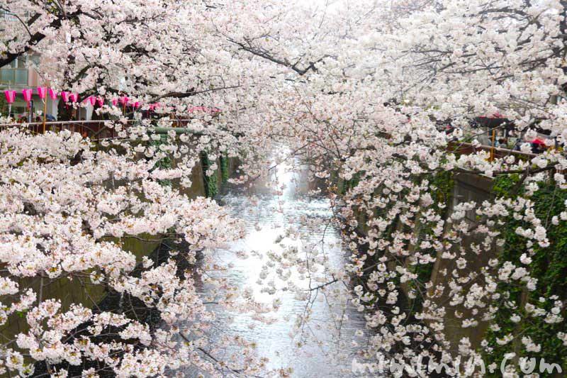 目黒川 桜(ソメイヨシノ)の写真 2019年の画像