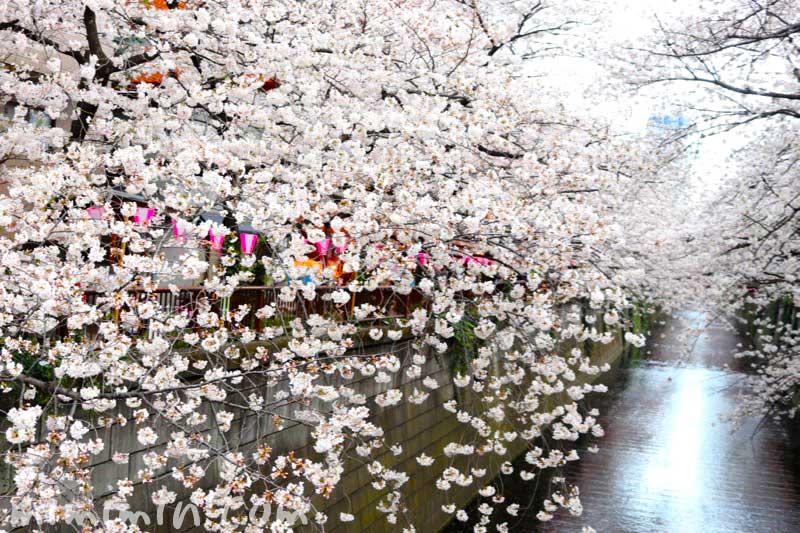 目黒川の桜(ソメイヨシノ)の花の写真 2019年の画像